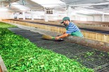 20% puja bonus for tea workers in two instalments