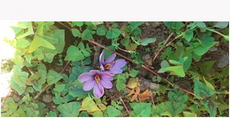 Saffron bowl of India extends to Sikkim, sample farming conducted in Yangyang